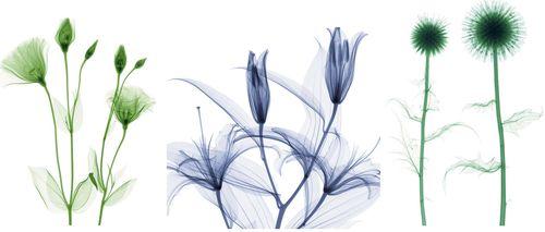 Xray flowers