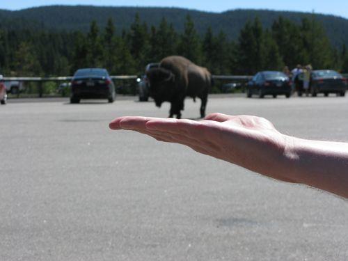 Buffalo in hand